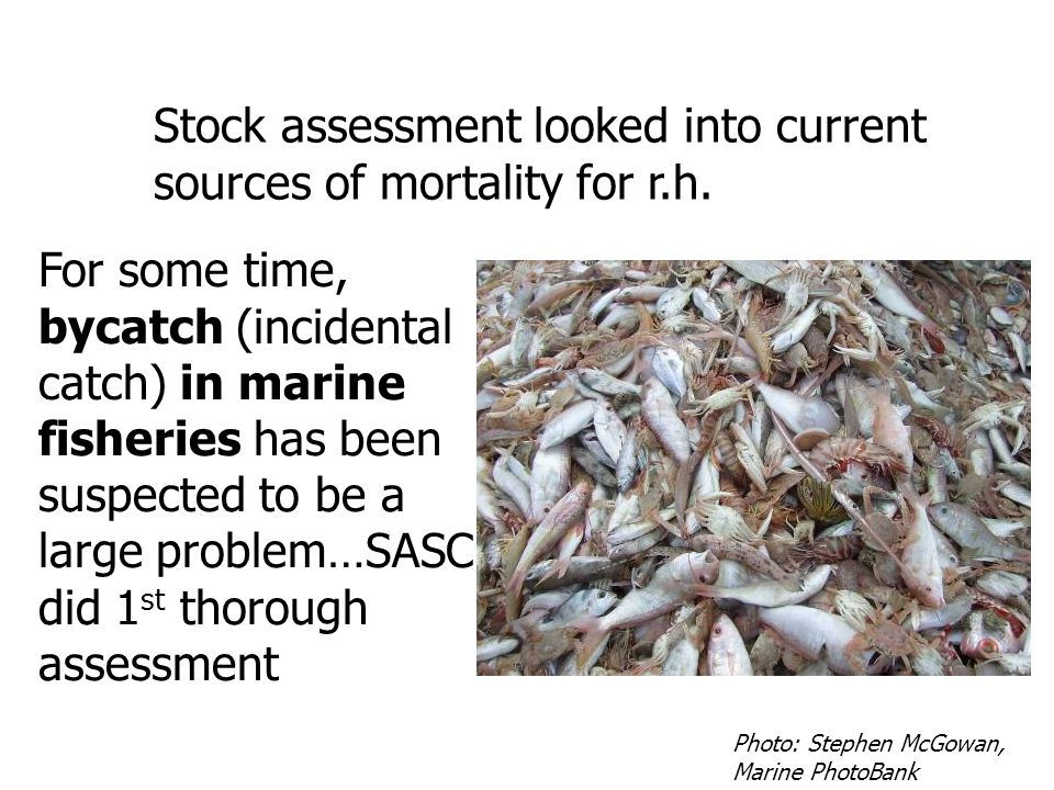Stock assessment looked into current sources of mortality for r.h. For some time, bycatch (incidental catch) in marine fisheries has been suspected to