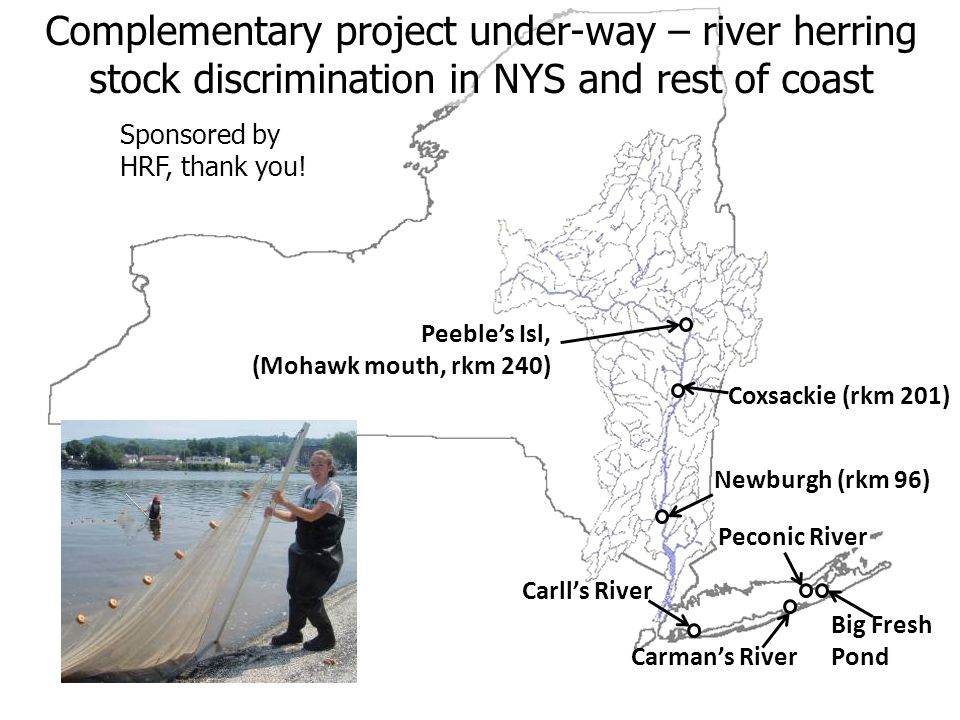 Complementary project under-way – river herring stock discrimination in NYS and rest of coast Carlls River Carmans River Big Fresh Pond Peconic River