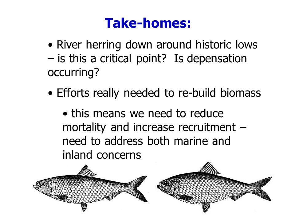 River herring down around historic lows – is this a critical point? Is depensation occurring? Efforts really needed to re-build biomass this means we
