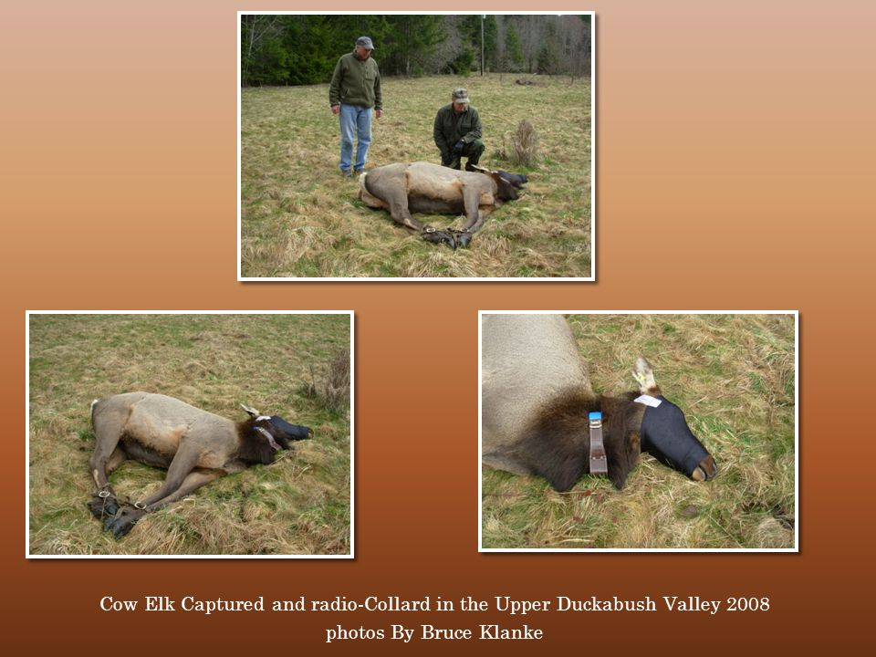 CHOOSE A Cow Elk Captured and radio-Collard in the Upper Duckabush Valley 2008 photos By Bruce Klanke