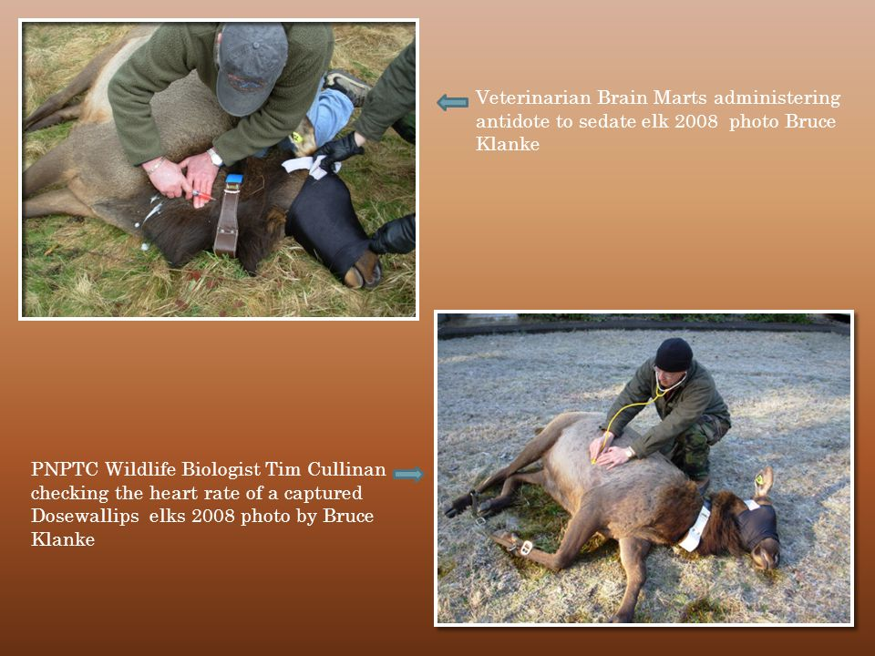 Veterinarian Brain Marts administering antidote to sedate elk 2008 photo Bruce Klanke PNPTC Wildlife Biologist Tim Cullinan checking the heart rate of