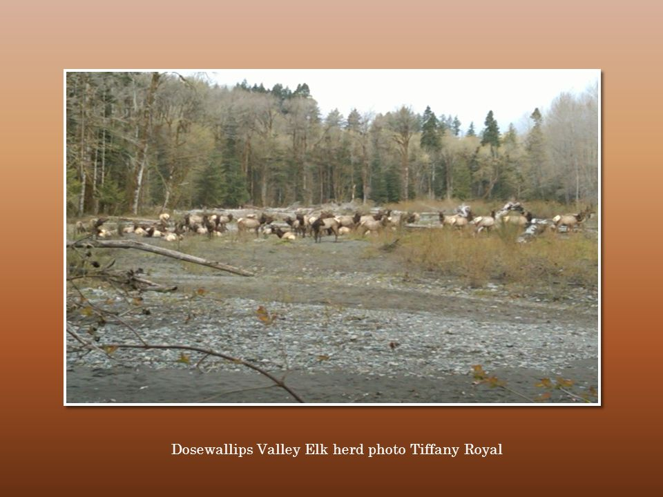 Dosewallips Valley Elk herd photo Tiffany Royal
