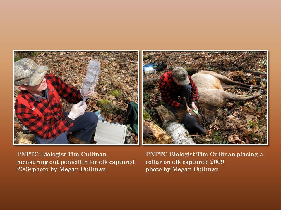 PNPTC Biologist Tim Cullinan measuring out penicillin for elk captured 2009 photo by Megan Cullinan PNPTC Biologist Tim Cullinan placing a collar on elk captured 2009 photo by Megan Cullinan