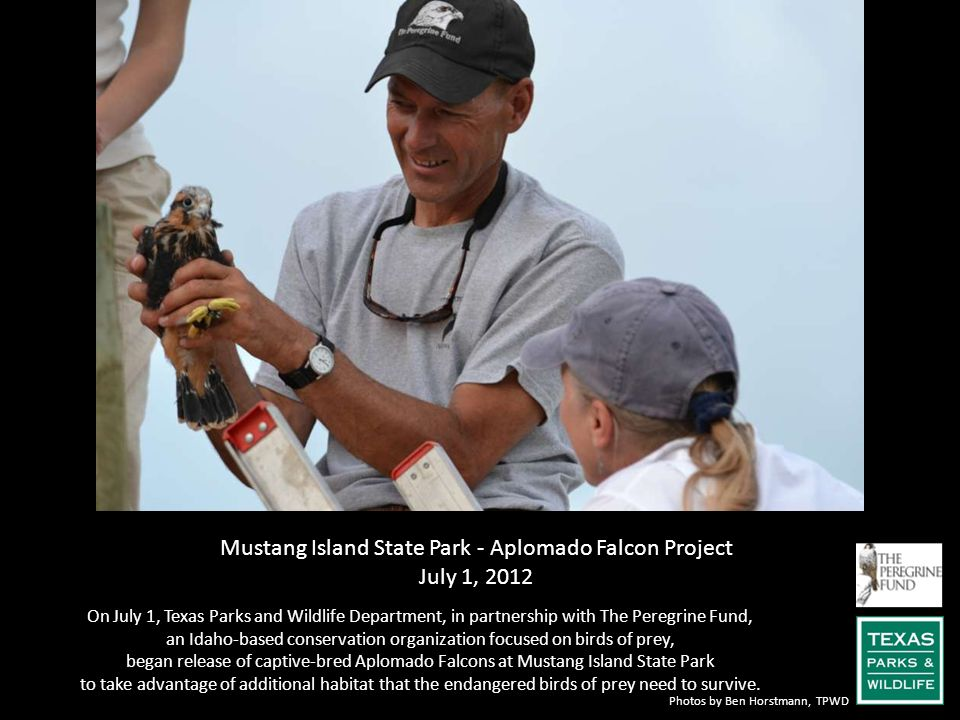 Mustang Island State Park - Aplomado Falcon Project July 1, 2012 On July 1, Texas Parks and Wildlife Department, in partnership with The Peregrine Fun