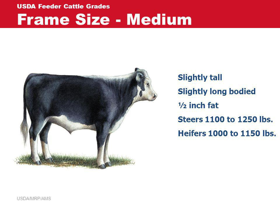USDA/MRP/AMS USDA Feeder Cattle Grades Frame Size - Medium Slightly tall Slightly long bodied ½ inch fat Steers 1100 to 1250 lbs. Heifers 1000 to 1150