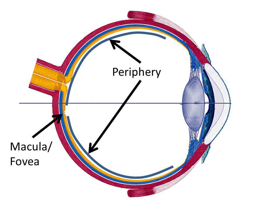 Lens Iris Retina Macula/ Fovea Periphery