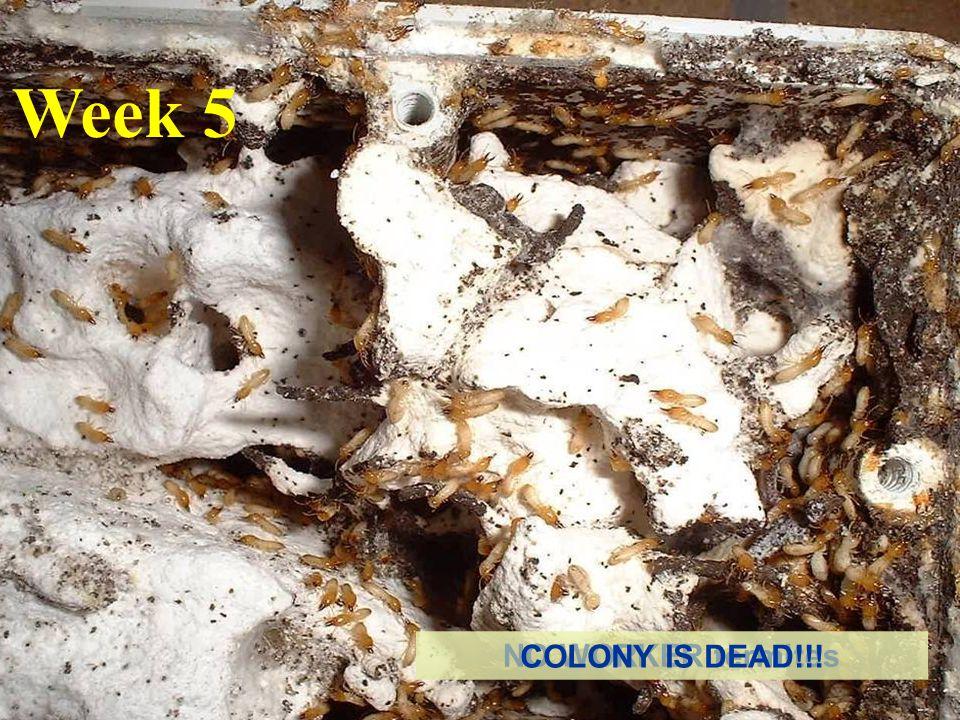 Week 5 NO WORKER termites COLONY IS DEAD!!!