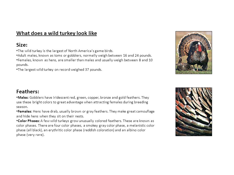 What does a wild turkey look like Size: The wild turkey is the largest of North America's game birds. Adult males, known as toms or gobblers, normally