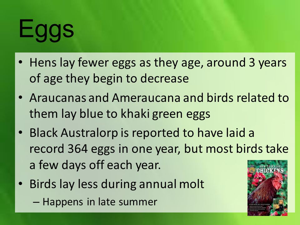 Hens lay fewer eggs as they age, around 3 years of age they begin to decrease Araucanas and Ameraucana and birds related to them lay blue to khaki gre