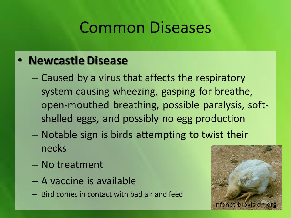 Common Diseases Newcastle Disease Newcastle Disease – Caused by a virus that affects the respiratory system causing wheezing, gasping for breathe, ope