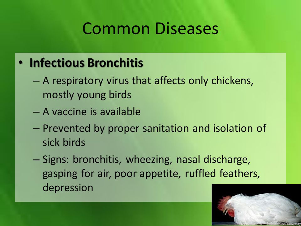 Common Diseases Infectious Bronchitis Infectious Bronchitis – A respiratory virus that affects only chickens, mostly young birds – A vaccine is availa