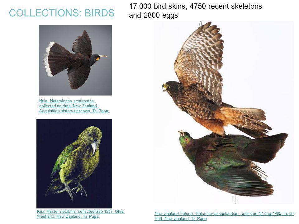 COLLECTIONS: BIRDS Huia, Heteralocha acutirostris, collected no data, New Zealand. Acquisition history unknown. Te Papa New Zealand Falcon, Falco nova