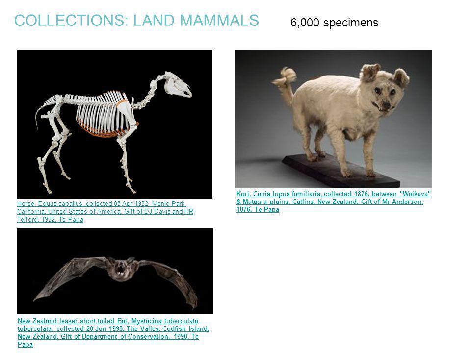 COLLECTIONS: LAND MAMMALS Kuri, Canis lupus familiaris, collected 1876, between