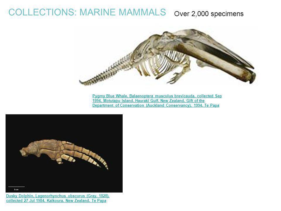 Pygmy Blue Whale, Balaenoptera musculus brevicauda, collected Sep 1994, Motutapu Island, Hauraki Gulf, New Zealand. Gift of the Department of Conserva
