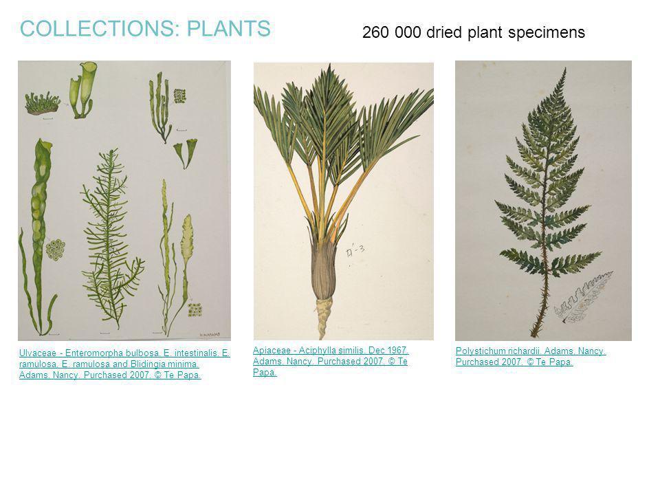COLLECTIONS: PLANTS Ulvaceae - Enteromorpha bulbosa, E. intestinalis, E. ramulosa, E. ramulosa and Blidingia minima. Adams, Nancy. Purchased 2007. © T