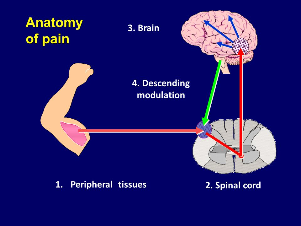 1.Peripheral tissues 2. Spinal cord 3. Brain 4. Descending modulation Anatomy of pain