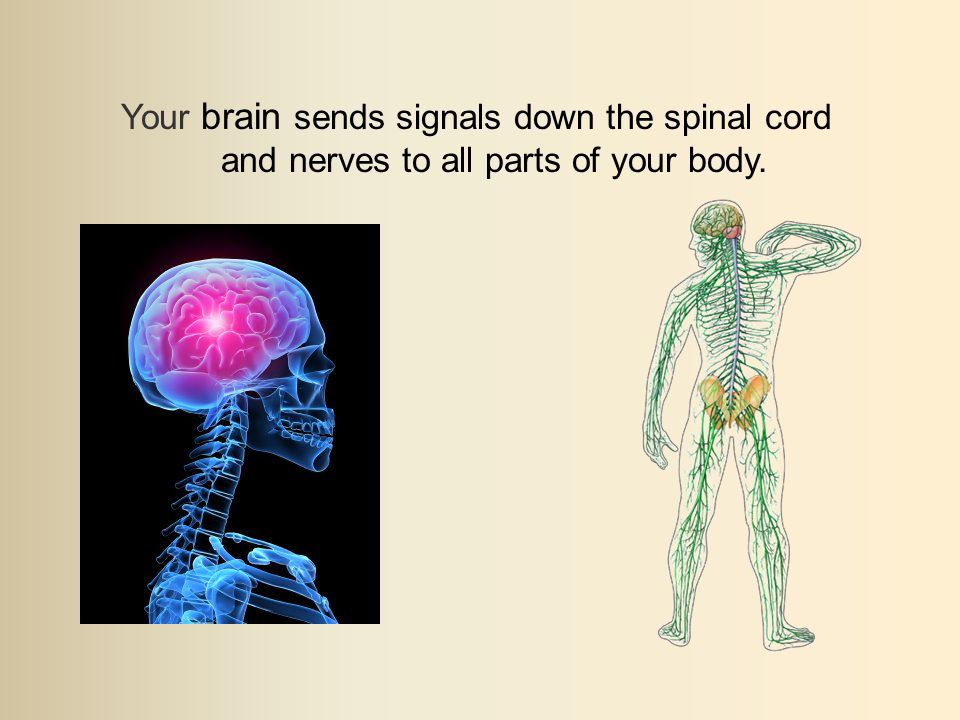 Your brain sends signals down the spinal cord and nerves to all parts of your body.