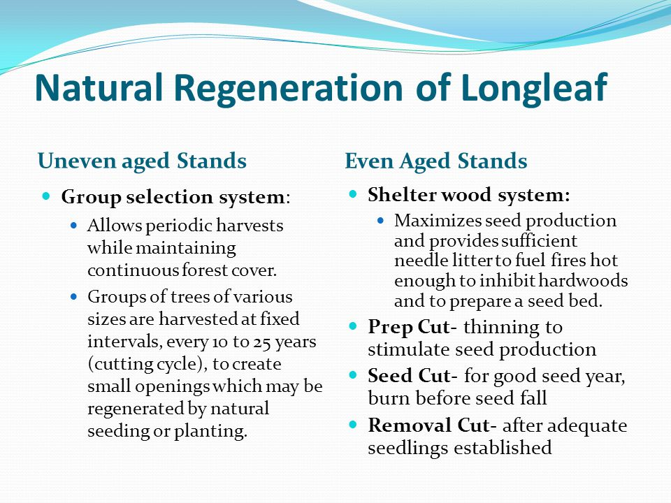 Quality longleaf seedlings Root collar diameter 0.4-0.6 inch Stout tap root greater than 6 inches At least 6 lateral roots greater than 6 inches Winter bud with scales Abundant large needles, free of brown spot Undercut well before lifting Seed source from same region as planting Brown Spot