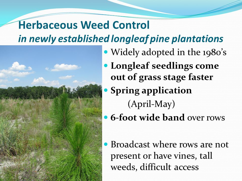 Herbaceous Weed Control in newly established longleaf pine plantations Widely adopted in the 1980s Longleaf seedlings come out of grass stage faster S