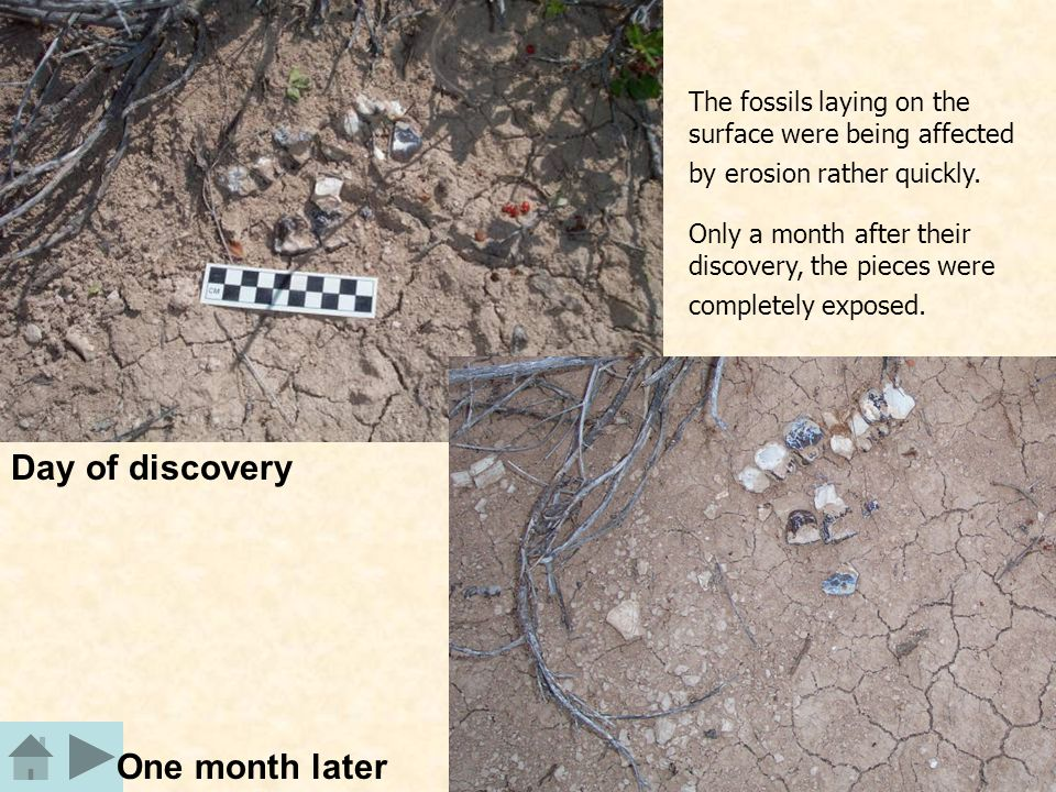 Day of discovery One month later The fossils laying on the surface were being affected by erosion rather quickly.