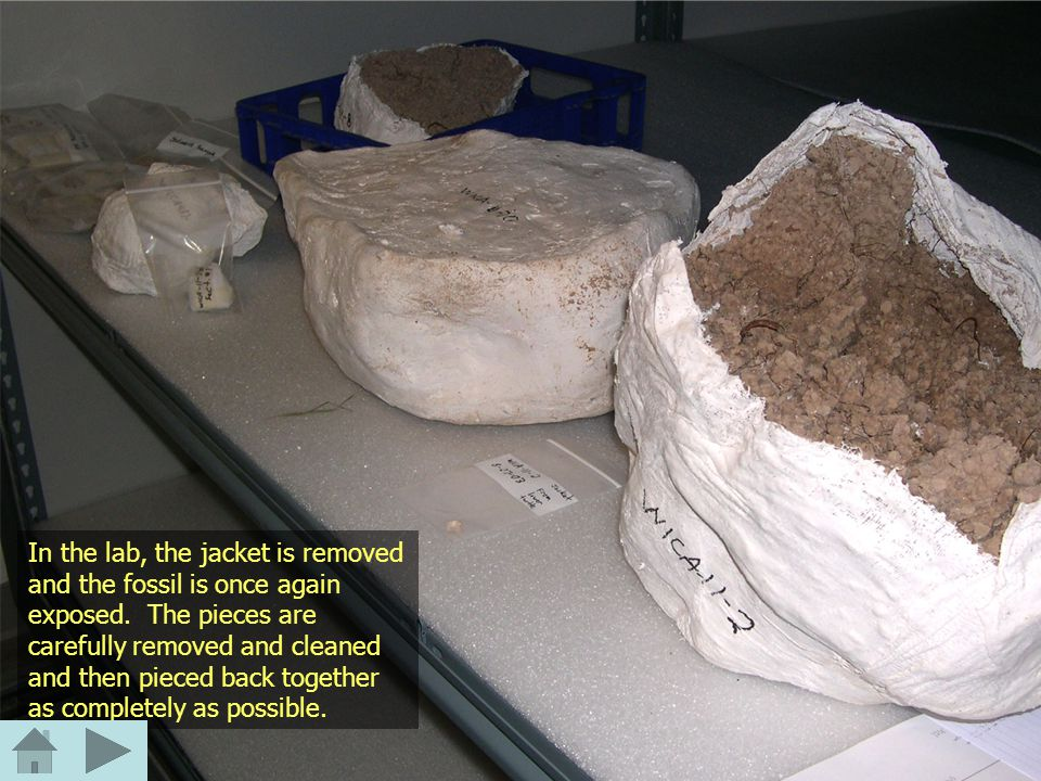 In the lab, the jacket is removed and the fossil is once again exposed.