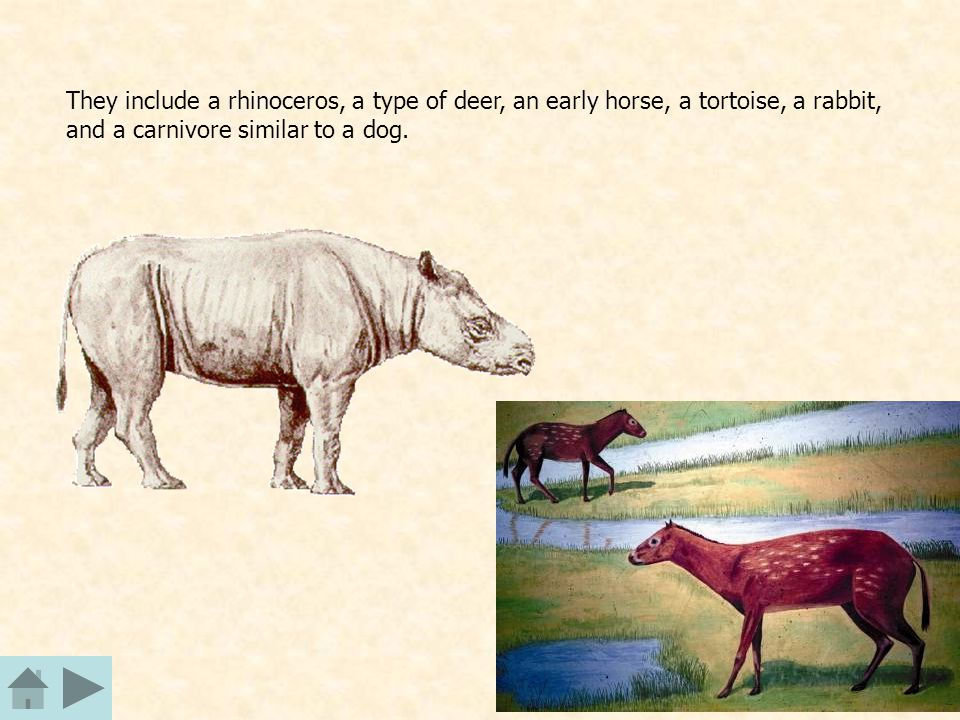 They include a rhinoceros, a type of deer, an early horse, a tortoise, a rabbit, and a carnivore similar to a dog.