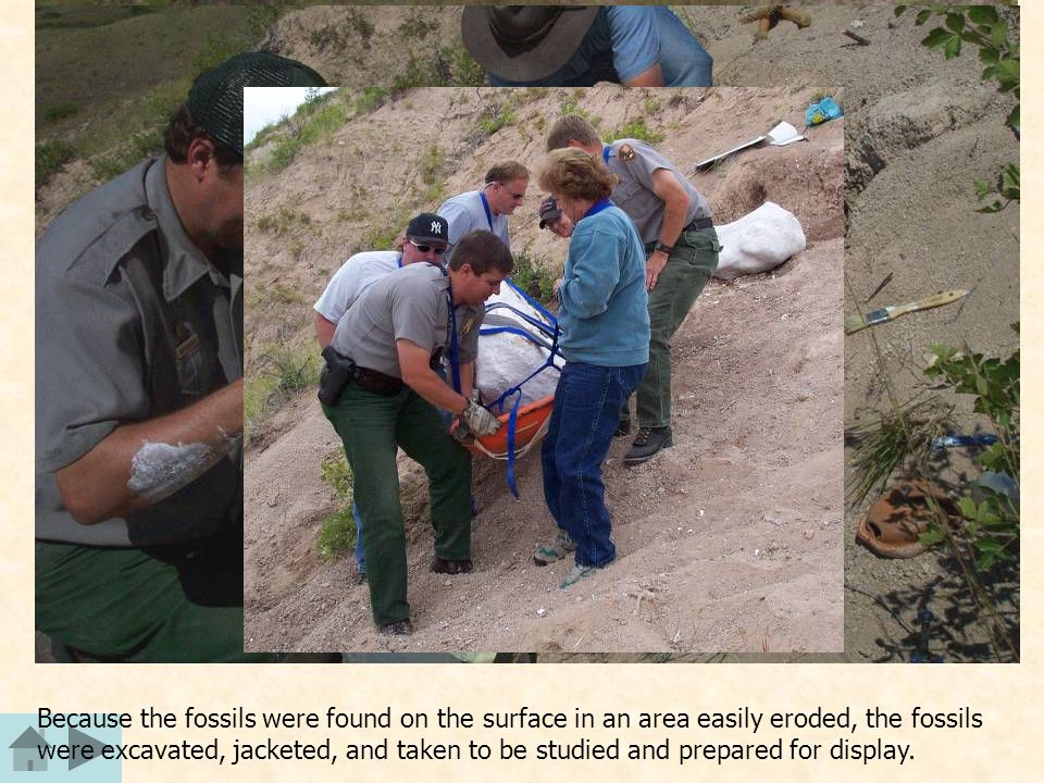 Because the fossils were found on the surface in an area easily eroded, the fossils were excavated, jacketed, and taken to be studied and prepared for display.
