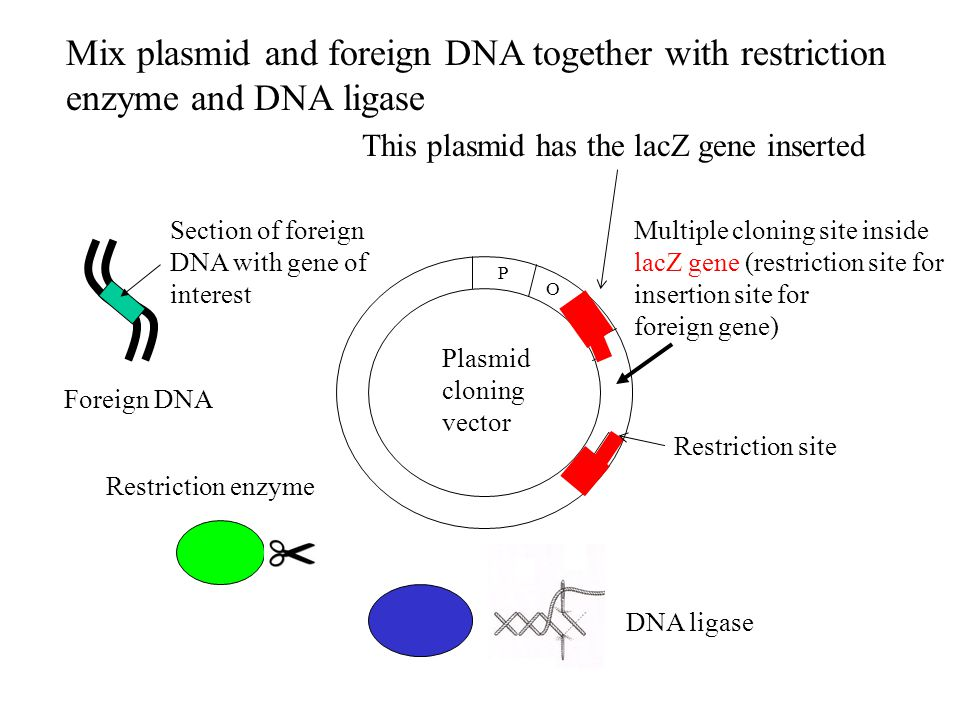 Multiple cloning site inside lacZ gene (restriction site for insertion site for foreign gene) Foreign DNA Section of foreign DNA with gene of interest