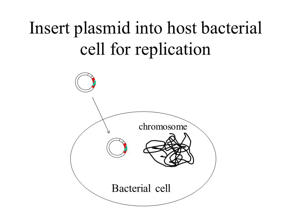 Insert plasmid into host bacterial cell for replication Bacterial cell chromosome