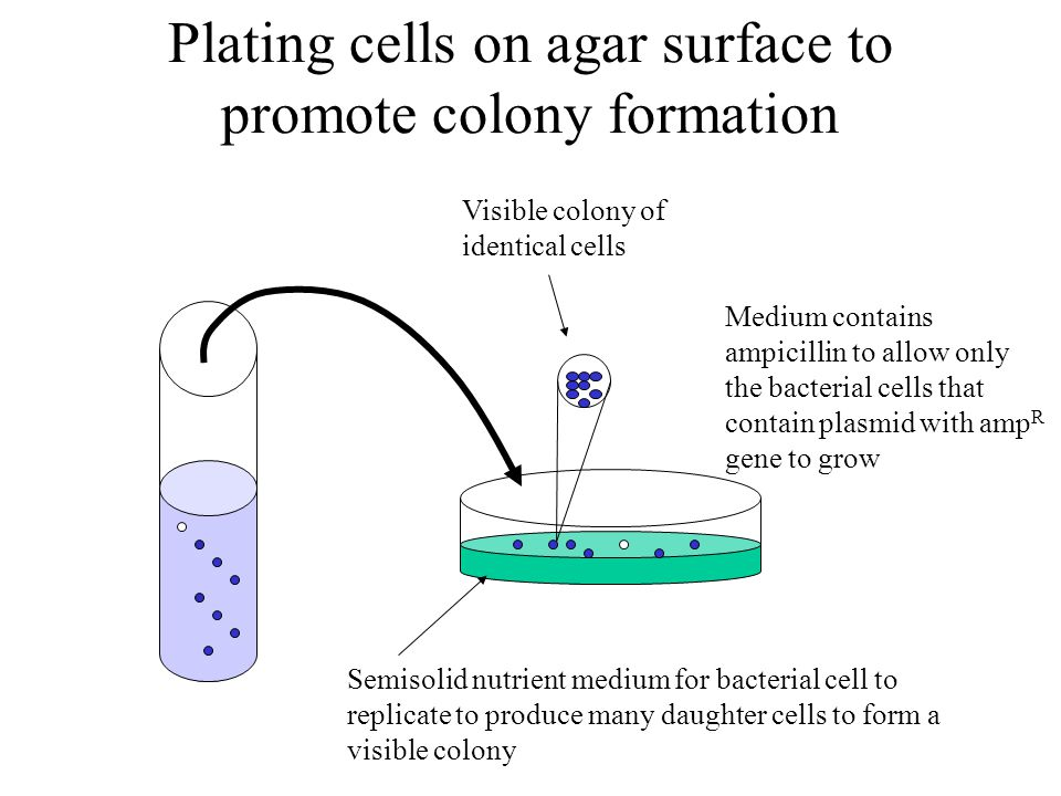 Plating cells on agar surface to promote colony formation Semisolid nutrient medium for bacterial cell to replicate to produce many daughter cells to form a visible colony Visible colony of identical cells Medium contains ampicillin to allow only the bacterial cells that contain plasmid with amp R gene to grow