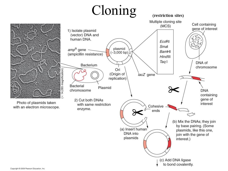 Cloning (restriction sites)