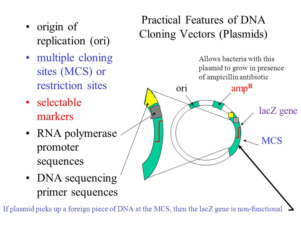 Practical Features of DNA Cloning Vectors (Plasmids) origin of replication (ori) multiple cloning sites (MCS) or restriction sites selectable markers RNA polymerase promoter sequences DNA sequencing primer sequences oriamp R MCS lacZ gene If plasmid picks up a foreign piece of DNA at the MCS, then the lacZ gene is non-functional Allows bacteria with this plasmid to grow in presence of ampicillin antibiotic
