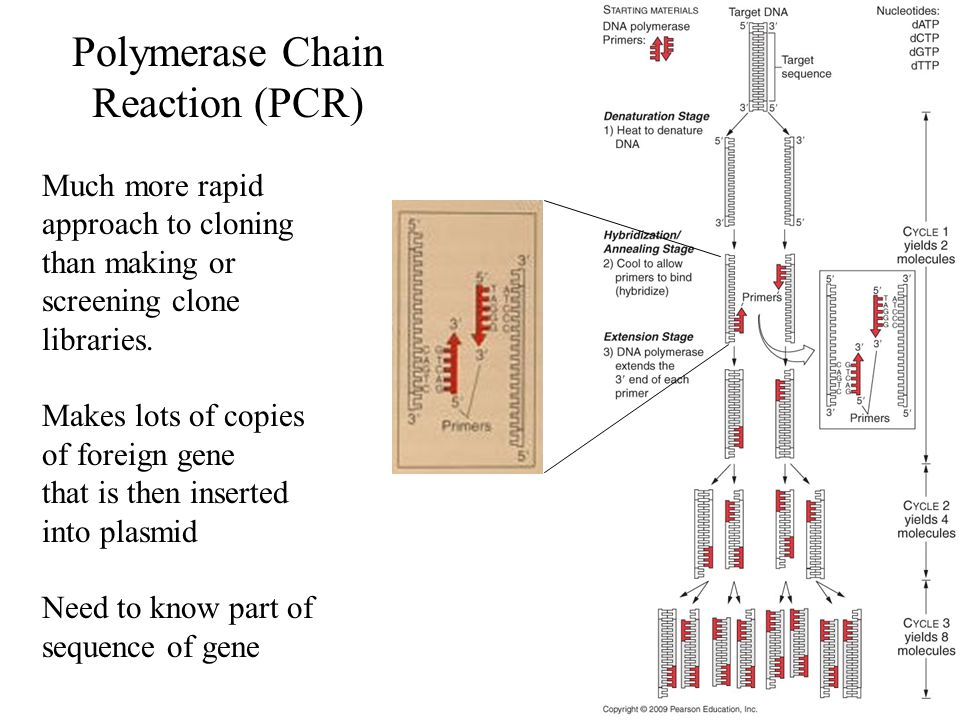 Polymerase Chain Reaction (PCR) Much more rapid approach to cloning than making or screening clone libraries. Makes lots of copies of foreign gene tha