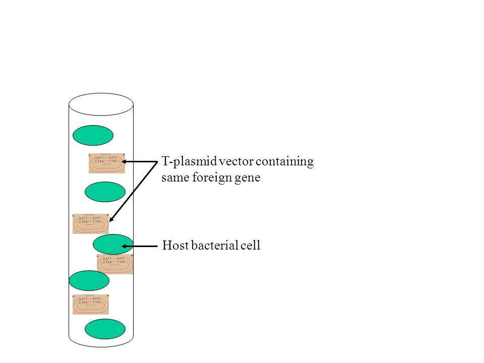 Host bacterial cell T-plasmid vector containing same foreign gene