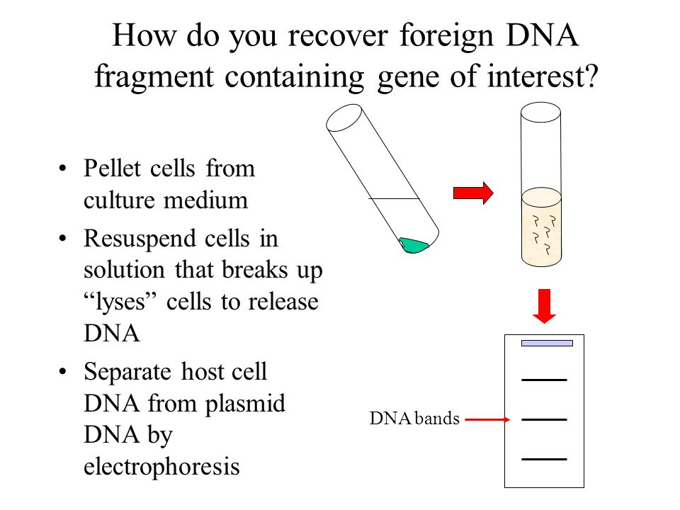 How do you recover foreign DNA fragment containing gene of interest? Pellet cells from culture medium Resuspend cells in solution that breaks up lyses