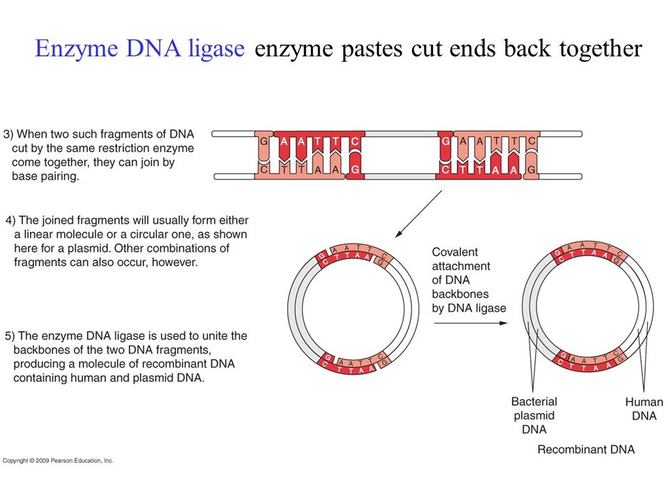 Enzyme DNA ligase enzyme pastes cut ends back together