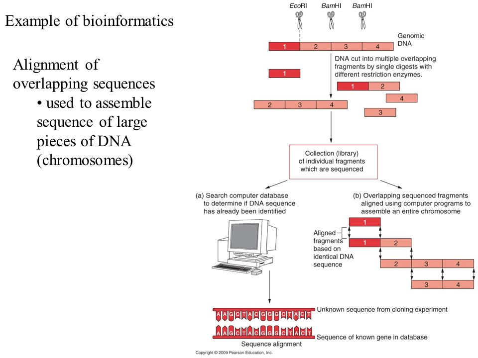 Example of bioinformatics Alignment of overlapping sequences used to assemble sequence of large pieces of DNA (chromosomes)
