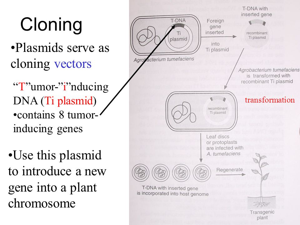 Cloning Plasmids serve as cloning vectors Tumor-inducing DNA (Ti plasmid) contains 8 tumor- inducing genes Use this plasmid to introduce a new gene into a plant chromosome transformation