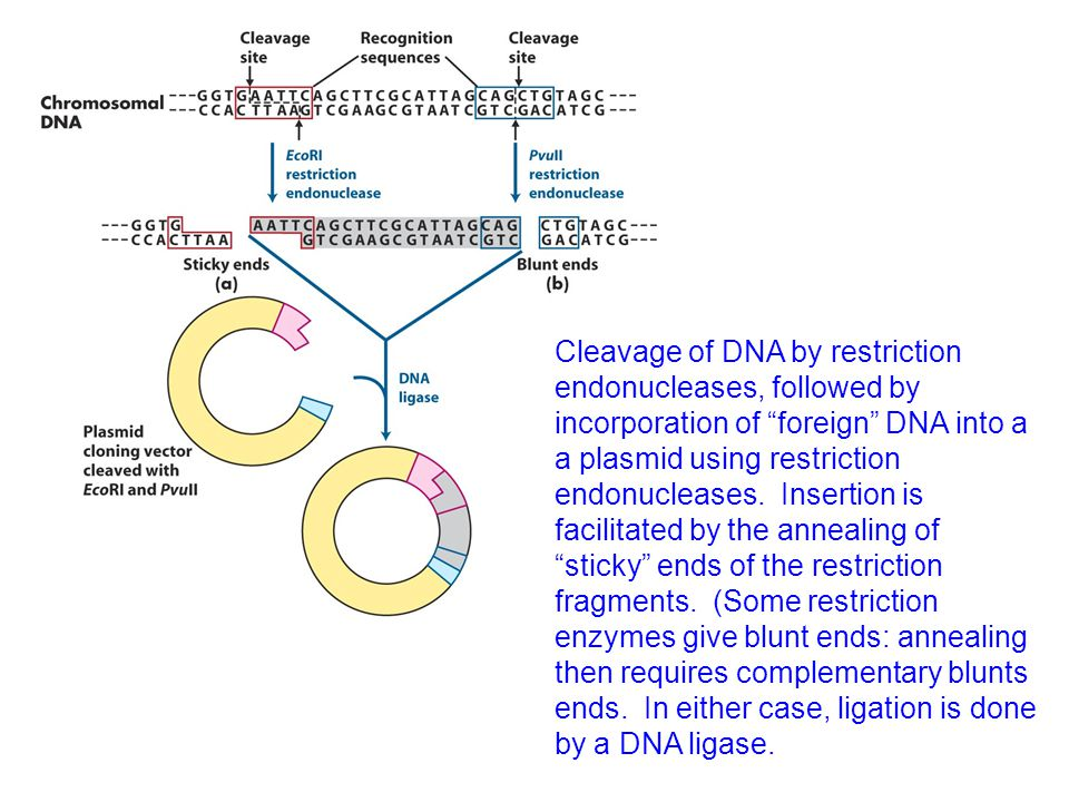 Cleavage of DNA by restriction endonucleases, followed by incorporation of foreign DNA into a a plasmid using restriction endonucleases.