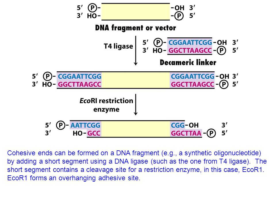 Cohesive ends can be formed on a DNA fragment (e.g., a synthetic oligonucleotide) by adding a short segment using a DNA ligase (such as the one from T4 ligase).