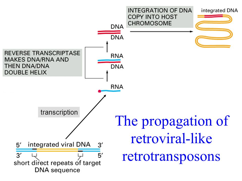 transcription The propagation of retroviral-like retrotransposons