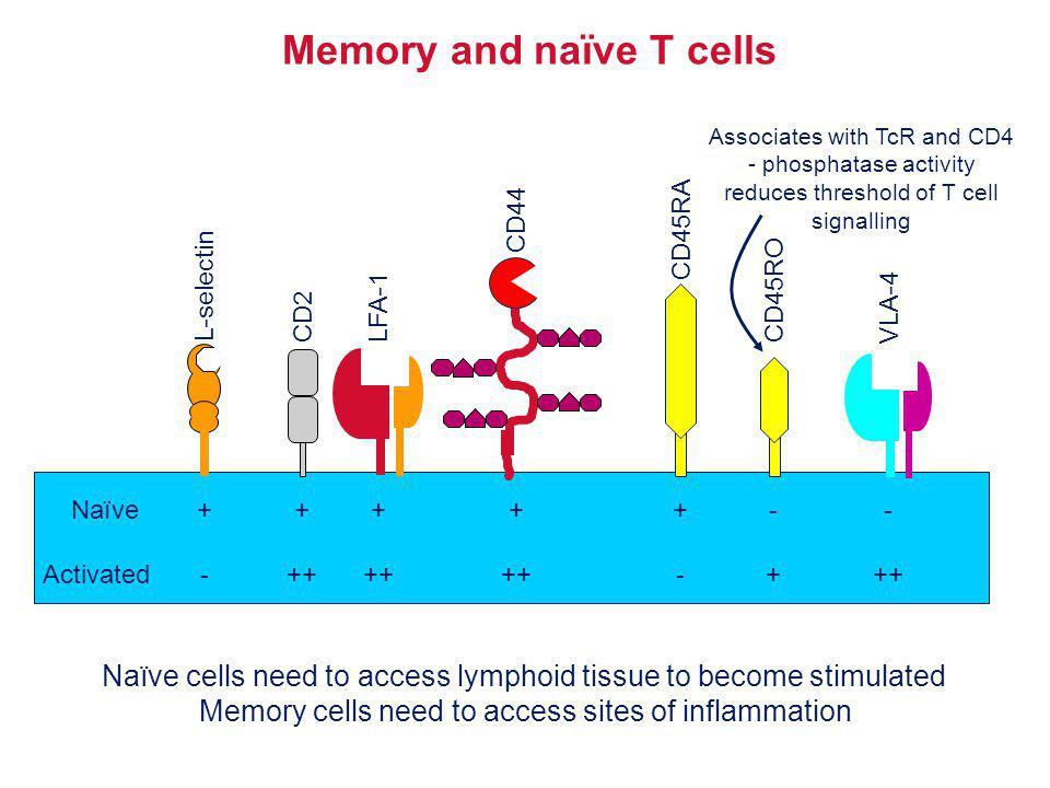 Memory and naïve T cells Naïve Activated + - L-selectin ++-++- VLA-4 CD45RA CD45ROCD2LFA-1 CD44 ++ +- Associates with TcR and CD4 - phosphatase activi