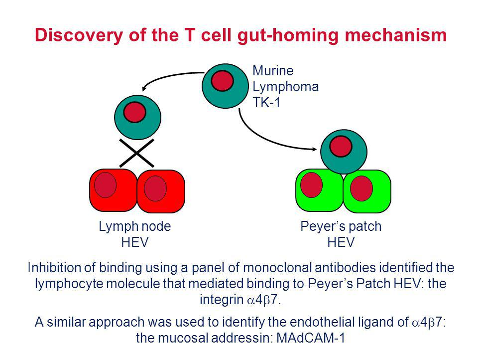 Discovery of the T cell gut-homing mechanism Murine Lymphoma TK-1 Lymph node HEV Peyers patch HEV Inhibition of binding using a panel of monoclonal an