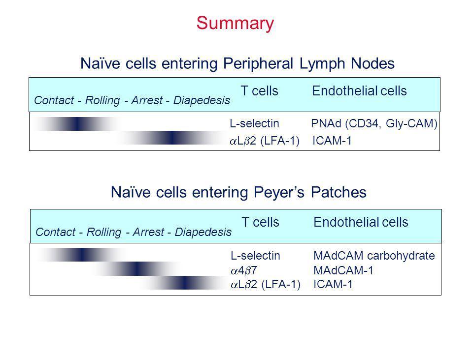 Summary L-selectinPNAd (CD34, Gly-CAM) L 2 (LFA-1)ICAM-1 Contact - Rolling - Arrest - Diapedesis T cells Endothelial cells Naïve cells entering Periph