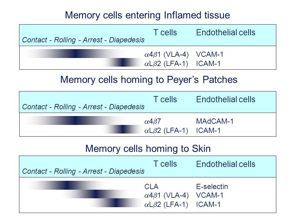 4 7MAdCAM-1 L 2 (LFA-1)ICAM-1 T cells Endothelial cells Contact - Rolling - Arrest - Diapedesis Memory cells homing to Peyers Patches CLAE-selectin 4