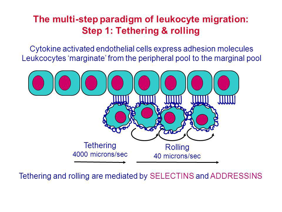 Chemotactic gradient Simultaneous occupancy of large numbers of surface receptors - the cell will stay still.