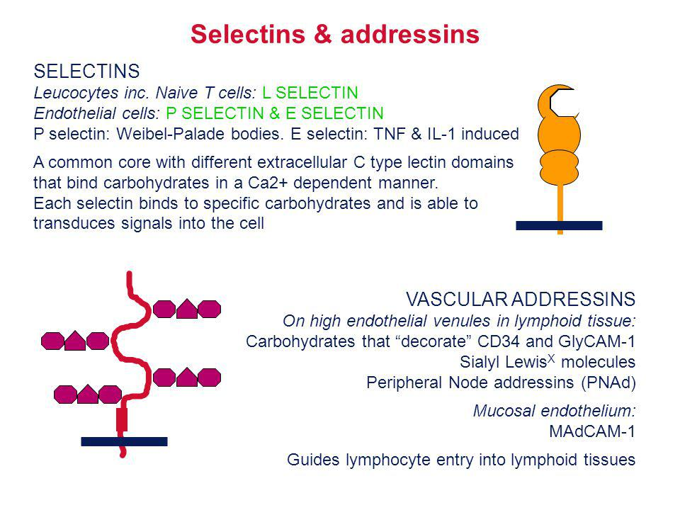 Why is lymphocyte homing necessary.