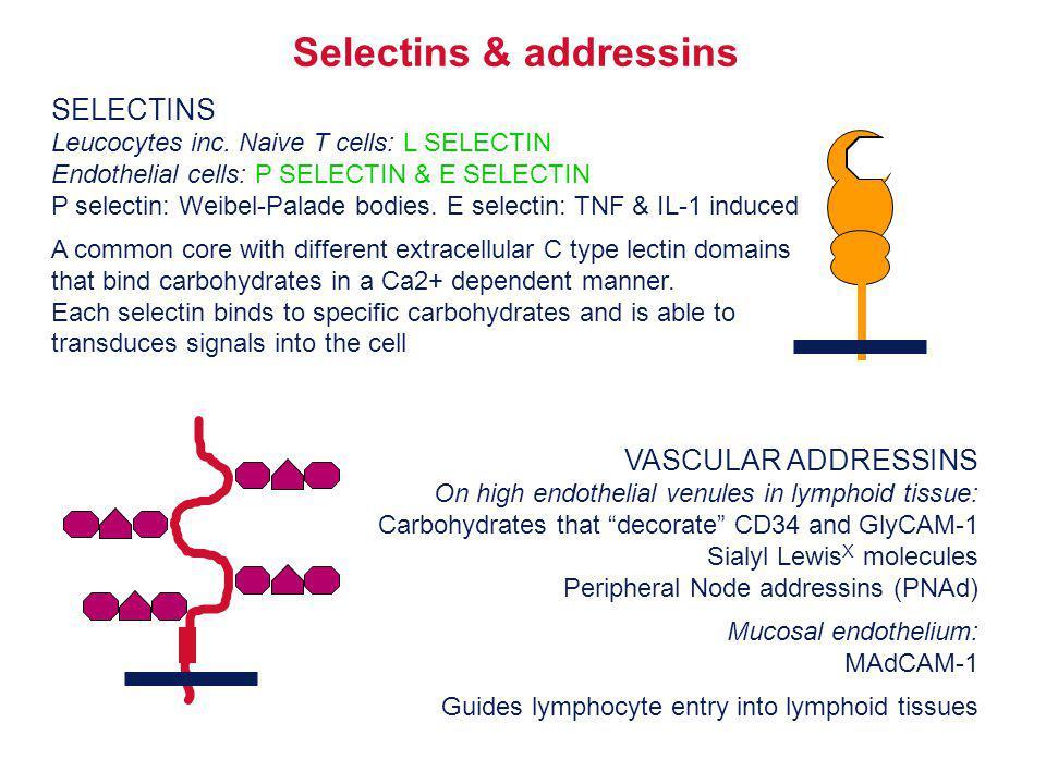 SELECTINS Leucocytes inc. Naive T cells: L SELECTIN Endothelial cells: P SELECTIN & E SELECTIN P selectin: Weibel-Palade bodies. E selectin: TNF & IL-