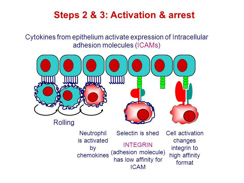 Rolling Neutrophil is activated by chemokines Selectin is shed Cytokines from epithelium activate expression of Intracellular adhesion molecules (ICAM