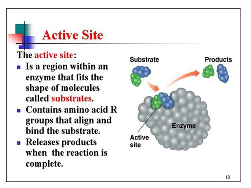 Enzyme Active Site Amino acid side chains interact, metal ions, Various types of polar, non-polar, ionic interactions